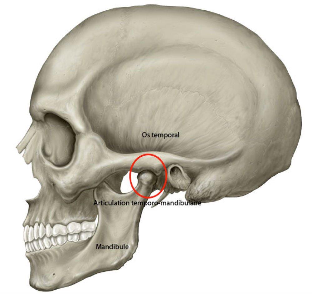 l'articulation temporo-mandibulaire